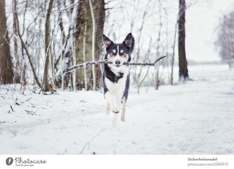 Bordercollie Olli Freizeit & Hobby Spielen Winter Schnee Schneefall Haustier Hund 1 Tier laufen rennen frei toben Hundeblick Hundetraum Hundeliebe