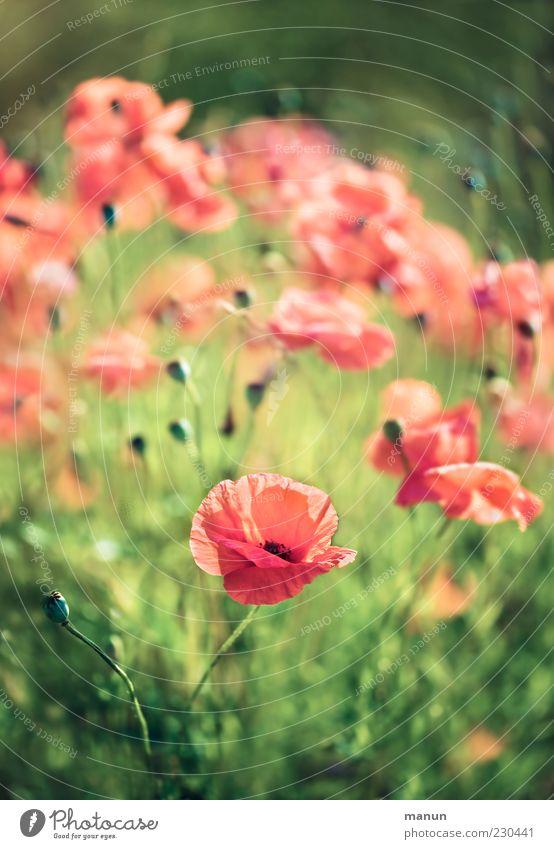 Klatschmohn Natur Frühling Sommer Blume Gras Blüte Mohn Mohnblüte sommerlich authentisch natürlich schön rot Farbfoto Außenaufnahme Menschenleer Tag Silhouette