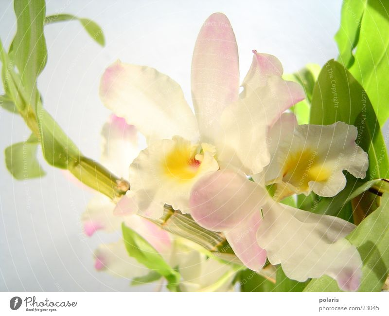 orchidee Blume rosa nah Orchidee