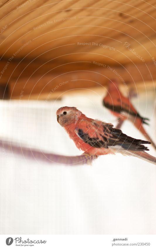 Vogelfrei Tier Vogel rosa sitzen wild Seil Flügel Feder tierisch Haustier