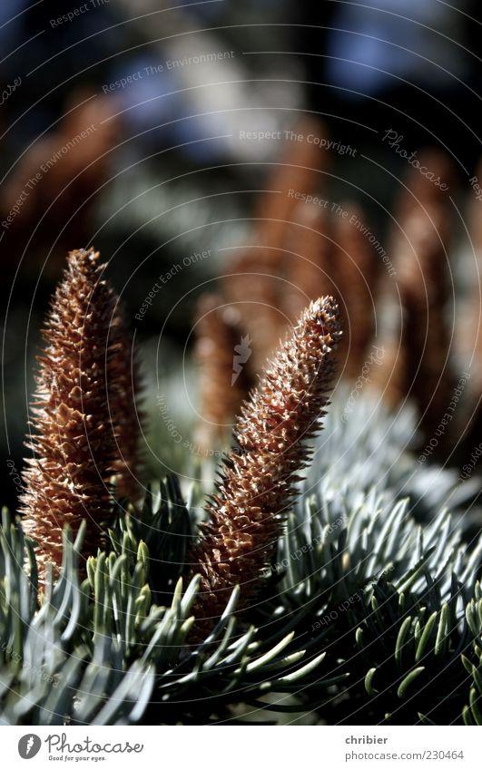 Die letzten Aufrechten Umwelt Natur Landschaft Pflanze Herbst Baum Zeder Nadelbaum Tannenzweig Zapfen Tannennadel stehen Wachstum nah stachelig braun grün