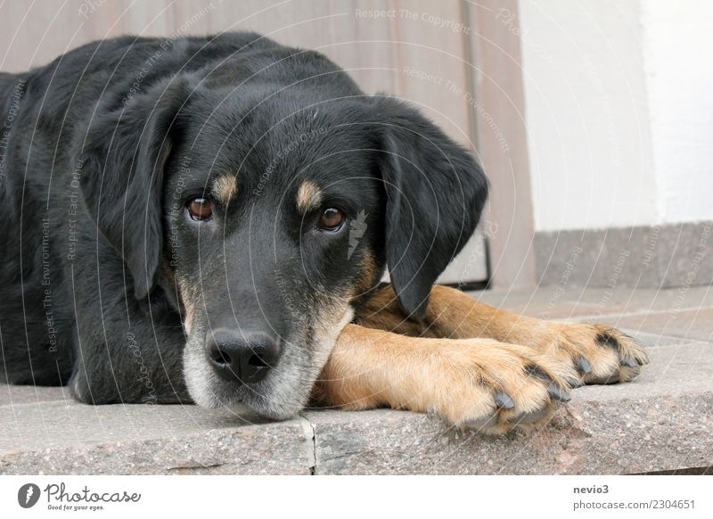 Neugierde Tier Haustier Hund Tiergesicht Fell Pfote 1 liegen schön natürlich niedlich Gefühle loyal Treue achtsam Wachsamkeit gewissenhaft Begleiter Haushund