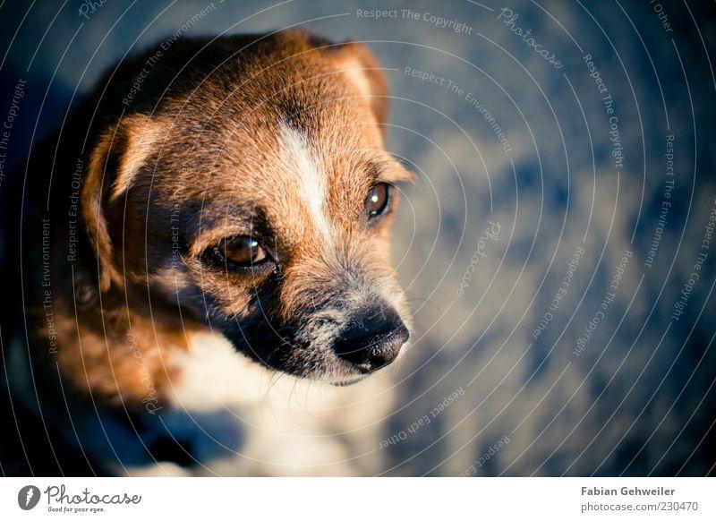 Lina ruhig Tier Hund klein braun warten Nase niedlich Vertrauen Haustier Sorge Treue Hundekopf Hundeblick Hundeauge
