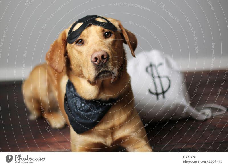 Dieb der Leckerlies Tier Haustier Hund 1 Blick niedlich Treue Karnevalskostüm Kostüm Hundeblick Farbfoto Innenaufnahme Studioaufnahme Kunstlicht Tierporträt