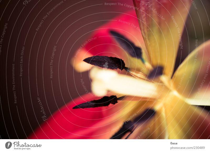 Blume Pflanze rot ruhig gelb Blüte Stimmung Gelassenheit Tulpe Sinnesorgane Stempel Blütenblatt friedlich