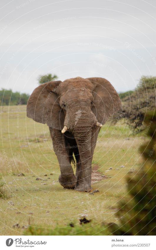 straight on grün Tier grau Bewegung Kraft gehen Wildtier Tiergesicht Horn Afrika Elefant gigantisch Nationalpark Namibia Naturschutzgebiet