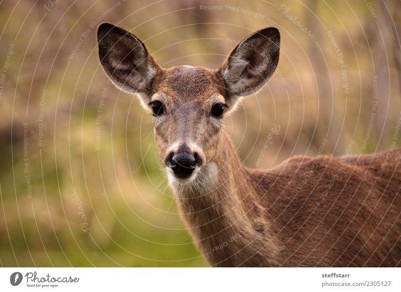 Weißwedelhirsch Odocoileus virginianus Natur grün Landschaft Tier braun Park Wildtier USA Teich Tiergesicht Hirsche Florida Feuchtgebiete Sarasota