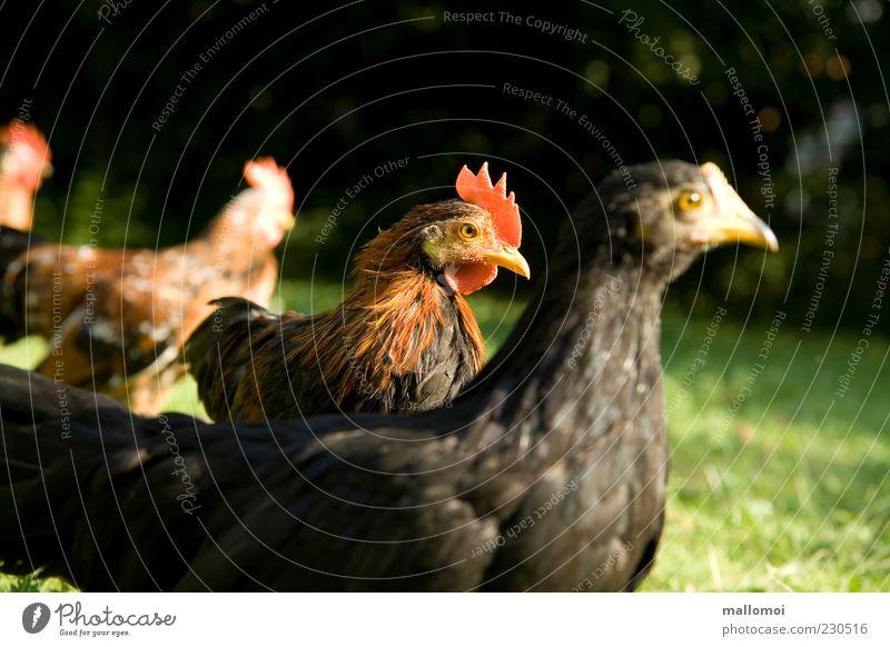 Junger Hahn zwischen jungen Hühnern Bioprodukte Haushuhn Tierhaltung Tiergruppe Huhn Geflügel freilaufend Macho selbstbewußt ökologisch biologisch Henne