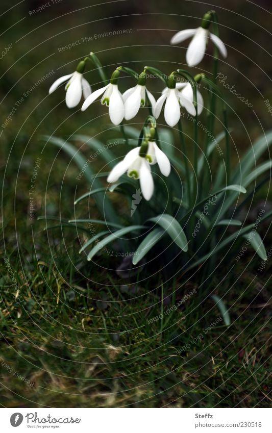 blühende Schneeglöckchen Galanthus Frühlingsblumen heimisch Frühlingserwachen Naturerwachen März Märzblumen Märzblüten Frühlingskrokus Frühblüher