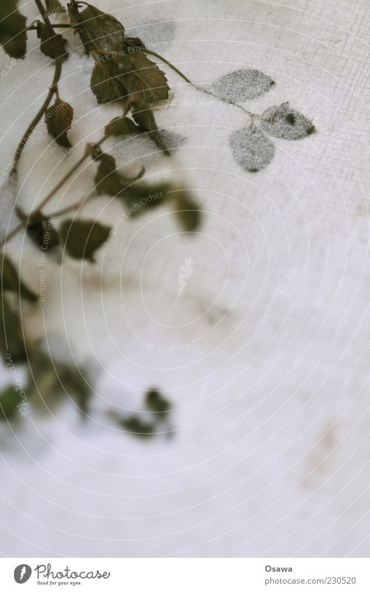 Pfefferminz on the rocks Minze Pflanze Kräuter & Gewürze erfrieren Schnee Grünpflanze Winter Frost kalt tiefgefroren Blatt