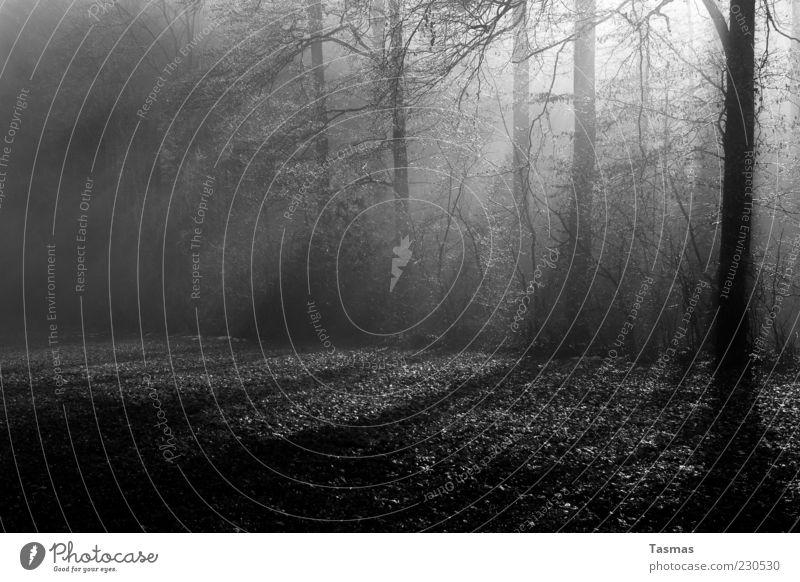 Viele Schatten Baum Wald Waldboden Waldlichtung Waldrand ästhetisch Wachstum Schwarzweißfoto Außenaufnahme Menschenleer Licht Kontrast Sonnenstrahlen Düsterwald