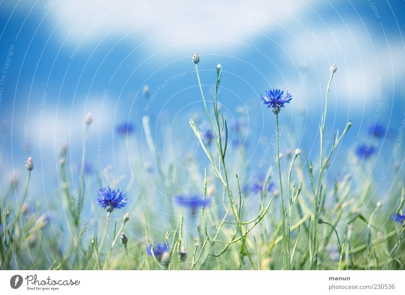 Kornblumen Natur Himmel Sommer Schönes Wetter Pflanze Blume Wildpflanze schön blau Farbfoto Außenaufnahme Menschenleer Tag Sonnenlicht Schwache Tiefenschärfe
