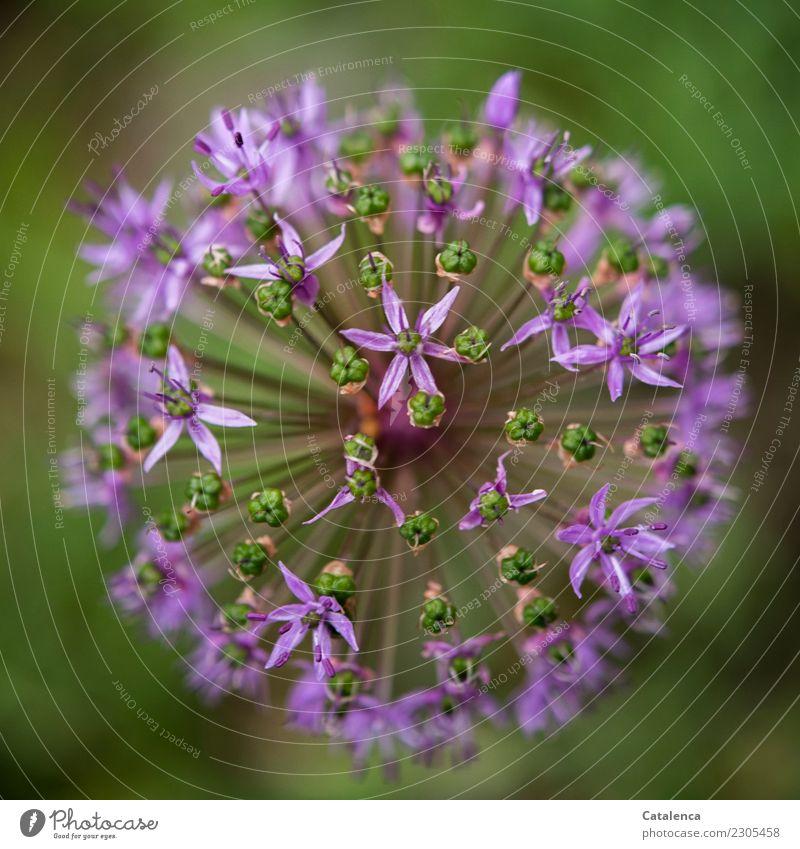 Zierlauchblüte Natur Pflanze Sommer grün Leben Umwelt Blüte Garten Stimmung Wachstum ästhetisch Blühend violett Duft verblüht dehydrieren