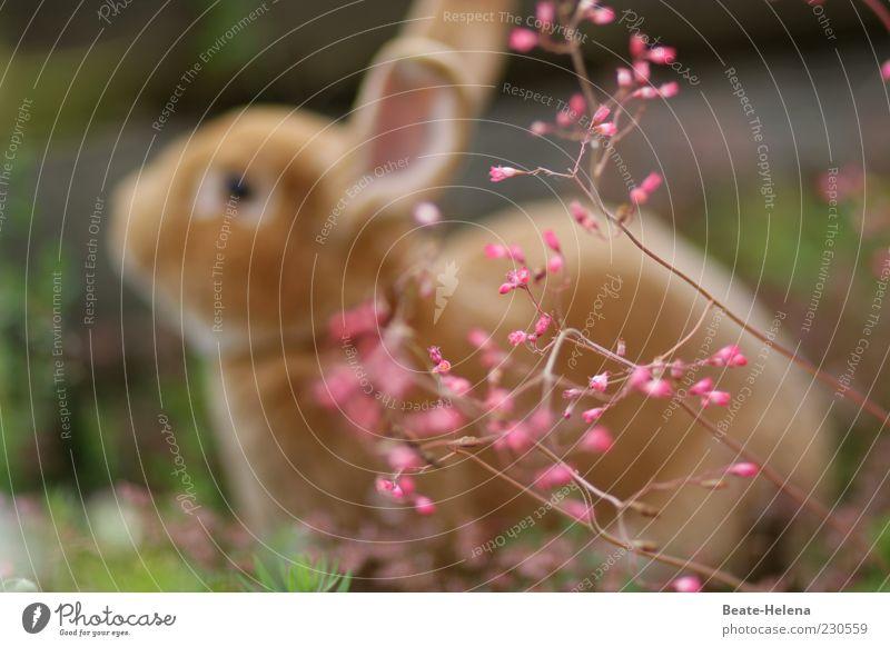 Hurra, der Frühling der ist da! Tier Gefühle braun rosa sitzen weich Ostern Hase & Kaninchen Haustier Nutztier Osterhase Blume Frühlingsgefühle Frühlingsblume