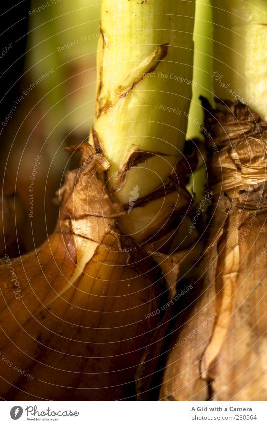 the closer you get .... Pflanze Gelbe Narzisse Blütenpflanze Knollengewächse Wachstum schön natürlich braun grün Stengel Frühlingsblume Frühblüher nah Farbfoto