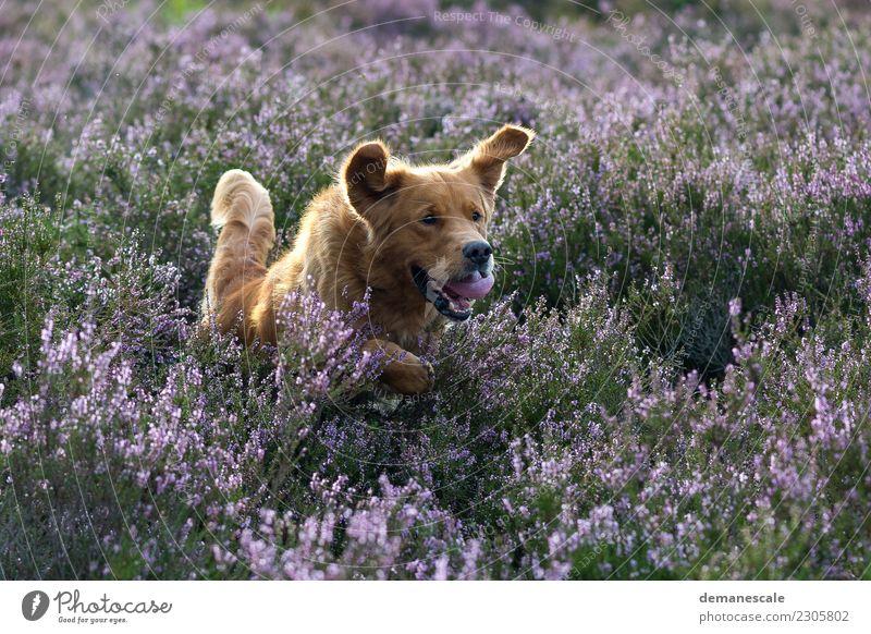 Ich will Spaß! Sommer Natur Landschaft Pflanze Tier Schönes Wetter Sträucher Blüte Wildpflanze Heide Park Haustier Hund Golden Retriever 1 Blühend Jagd rennen