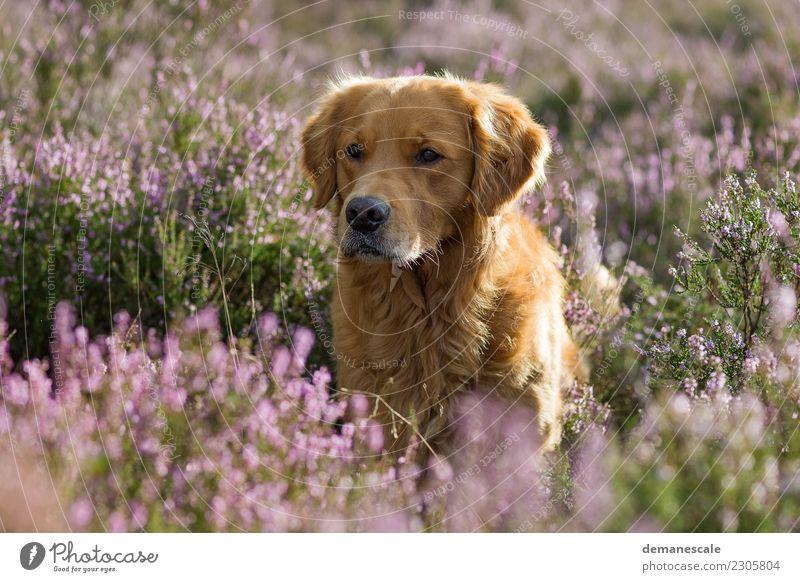 Goldi im Gegenlicht. Natur Landschaft Pflanze Tier Sommer Blume Sträucher Wildpflanze Heidekrautgewächse Park Haustier Hund Tiergesicht Fell Golden Retriever 1