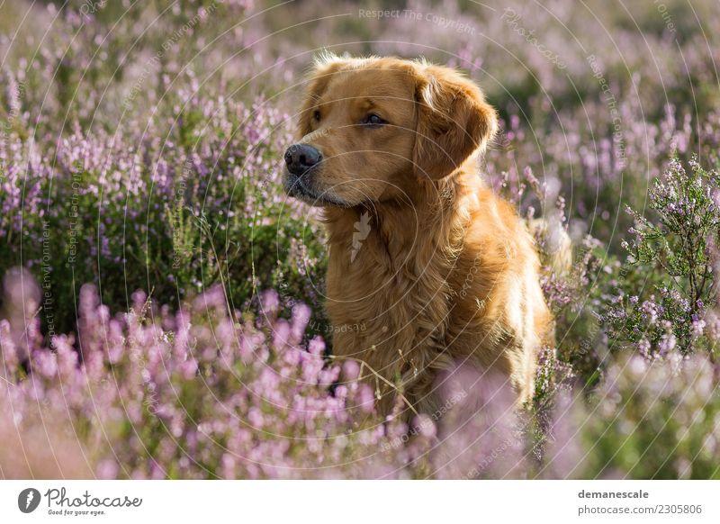 Golden Retriever in blühender Heide. Natur Hund Pflanze Sommer grün Landschaft Blume Tier braun rosa Freundschaft Park Wachstum stehen Sträucher Lebensfreude