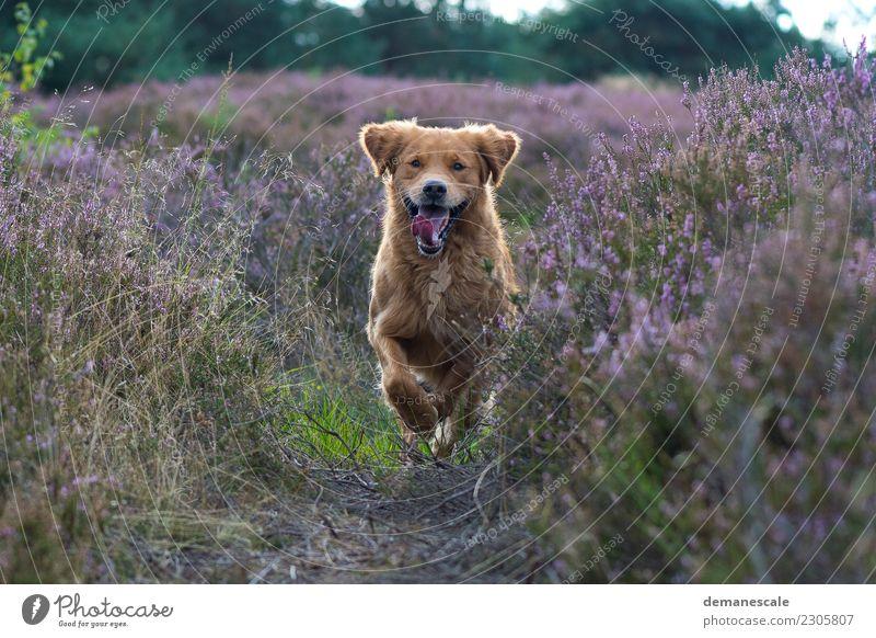 Ungebremste Freiheit. Natur Hund Pflanze Sommer grün Landschaft Tier Wald Blüte lachen Glück braun Park Fröhlichkeit Sträucher