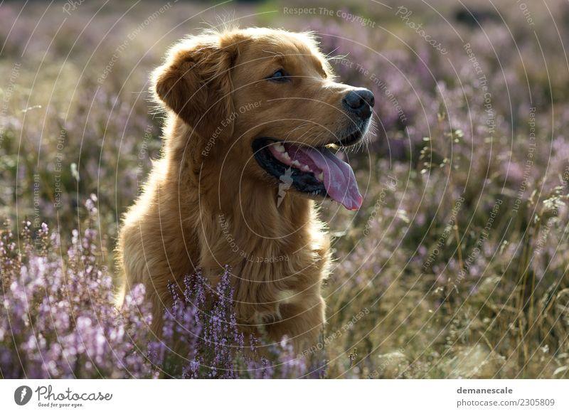 Golden Retriever im Gegenlicht. Natur Hund Pflanze Sommer grün Landschaft Blume Tier Blüte Bewegung Freiheit braun rosa Freundschaft Park Wachstum