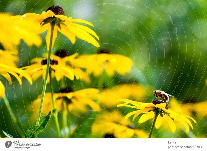 Beginn der Bienenzeit Natur grün Pflanze Sonne Blume Tier gelb Umwelt Blüte Frühling sitzen Wildtier Flügel Insekt Biene Blühend