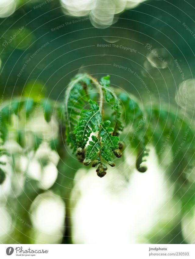 Farn Natur Pflanze Frühling Schönes Wetter Blatt Wildpflanze Urwald ästhetisch hell nah natürlich schön wild grün weiß Frühlingsgefühle Kraft Bewegung Umwelt