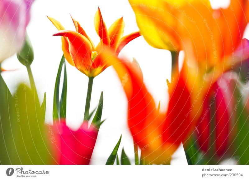 kleine Farborgie Natur Pflanze Frühling Tulpe Blüte mehrfarbig gelb grün rot weiß Farbfoto Detailaufnahme Licht Blütenblatt Stengel Menschenleer frisch Blühend