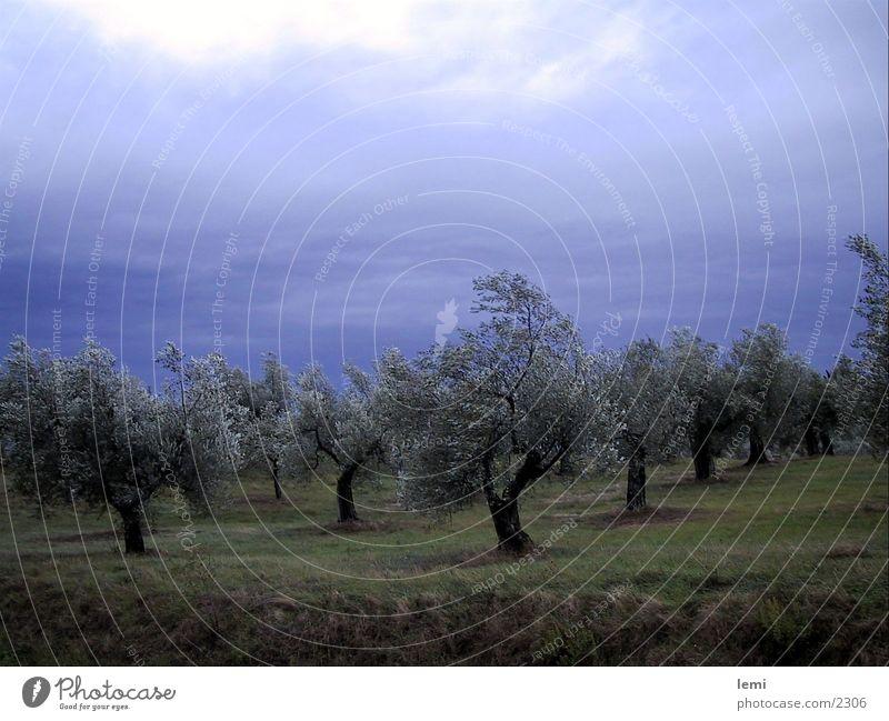 Oliven im Sturm Baum Italien Sturm Oliven Olivenbaum Umbrien