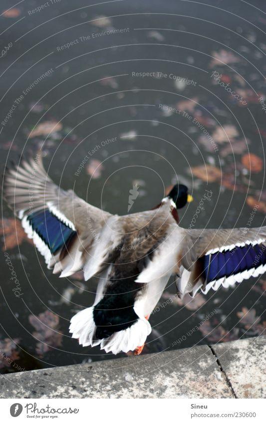 Abflug Natur Wasser Sommer Blatt Tier Park Horizont Zufriedenheit fliegen nass Beginn Geschwindigkeit gefährlich Flügel Schönes Wetter Risiko