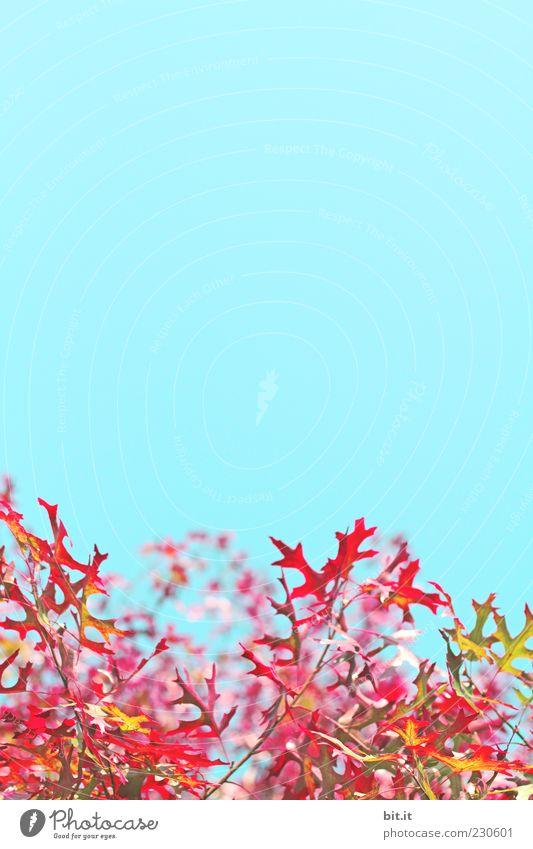 Blätter flambiert Umwelt Natur Pflanze Luft Himmel Wolkenloser Himmel Sommer Herbst Klima Schönes Wetter Baum Blatt saftig blau gelb gold grün rot Ahorn