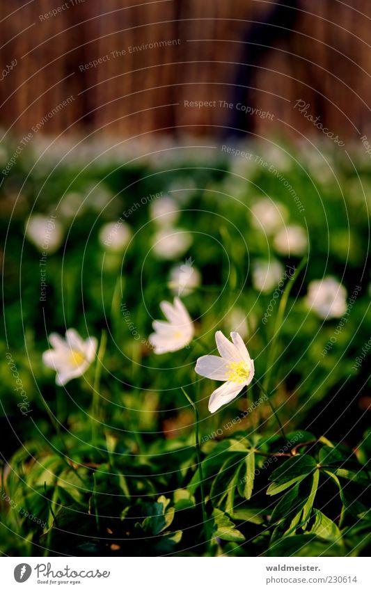 Frühling Natur grün weiß schön Pflanze Blume Wiese Frühling braun rosa Wachstum Idylle zart Schönes Wetter Stengel genießen