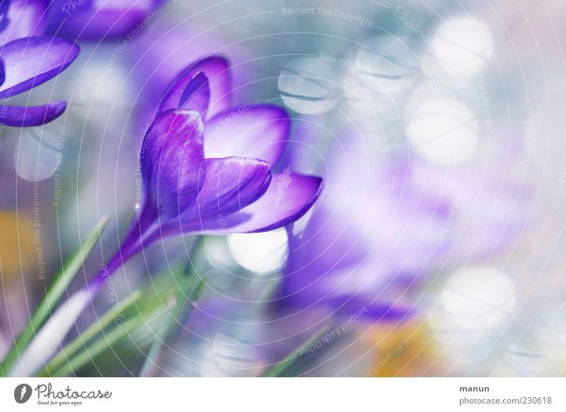 Blütentraum Natur Pflanze schön Blume Frühling außergewöhnlich hell Kitsch violett Duft Frühlingsgefühle Krokusse Blütenkelch Reflexion & Spiegelung