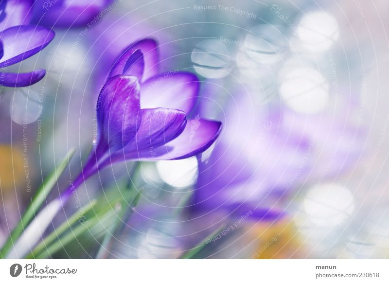 Blütentraum Natur Pflanze schön Blume Frühling Blüte außergewöhnlich hell Kitsch violett Duft Frühlingsgefühle Krokusse Blütenkelch Reflexion & Spiegelung