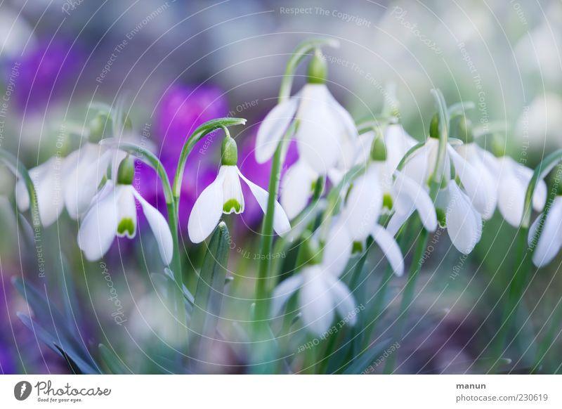 Frühlingsblüten Natur Pflanze Blume Blatt Blüte Schneeglöckchen Frühlingsblume Duft schön kalt natürlich Frühlingsgefühle Farbfoto Außenaufnahme Nahaufnahme