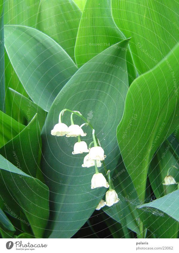 maiglöckchen (oder? +g+) weiß Blume grün Blatt Maiglöckchen