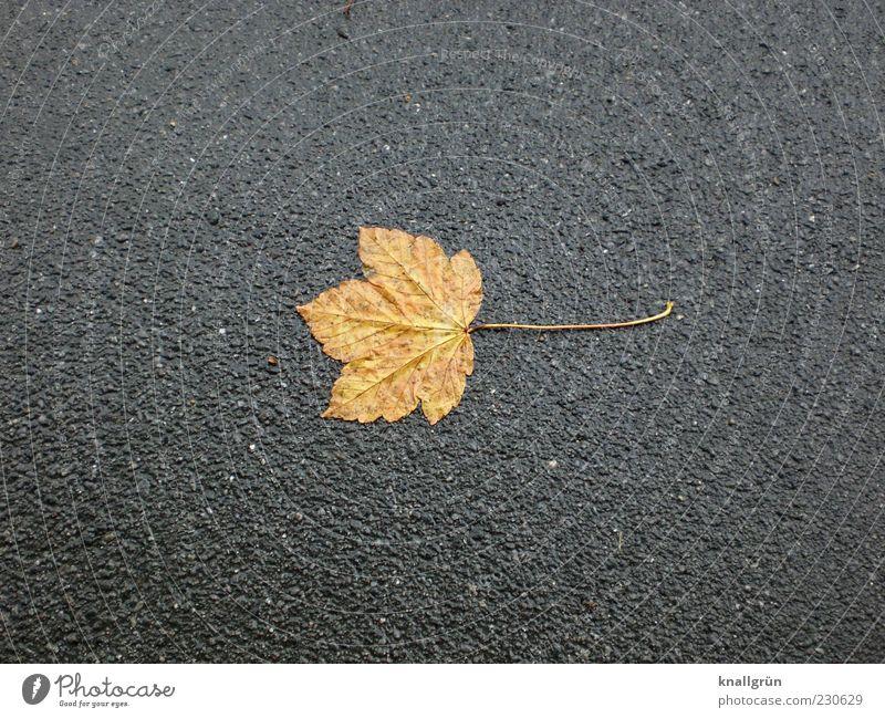 Melancholie Natur Blatt Einsamkeit Herbst grau braun nass trist Vergänglichkeit Ende Asphalt Herbstlaub vertrocknet Teer schlechtes Wetter Ahornblatt