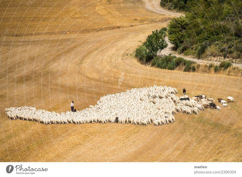 Aaaaaaa-Schafe Landschaft Sommer Sträucher Feld Wege & Pfade Tier Haustier Hund Herde Fressen gelb grün weiß Schafherde Ziegen Schäfer Getreidefeld Ernte Rioja