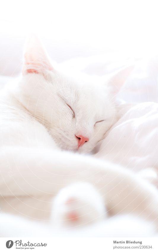 siesta Tier Haustier Katze 1 genießen schlafen träumen schön kuschlig natürlich rosa weiß Tierliebe ruhig Halbschlaf Katzenkopf ruhend Pause liegen Erholung