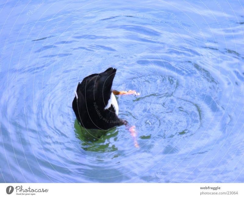 Schwänzchen in die Höh' See Ente Schwanz