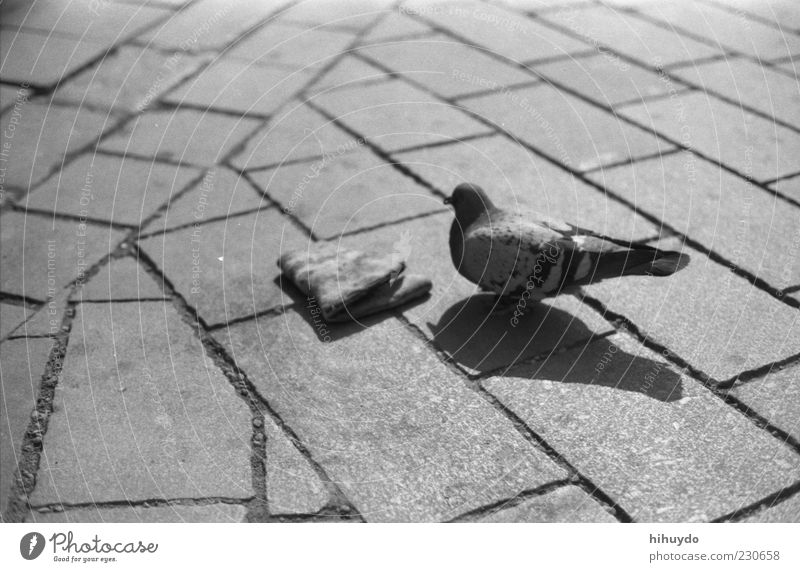nur du und ich. Tier Vogel Wildtier außergewöhnlich Flügel Müll Taube Schwarzweißfoto Pflasterweg ungenießbar