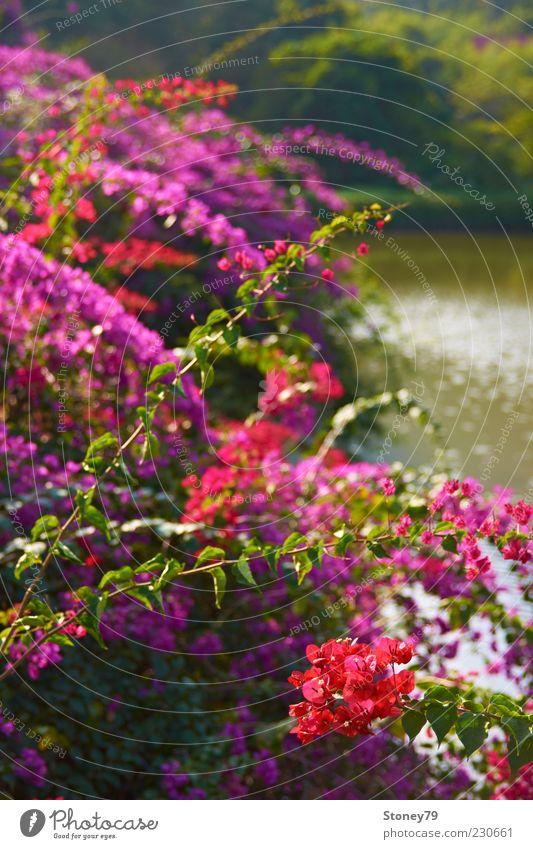 Blumen Pflanze Schönes Wetter Sträucher Blüte Park Teich See Duft mehrfarbig grün violett rot Farbfoto Außenaufnahme Menschenleer Tag Licht Sonnenlicht