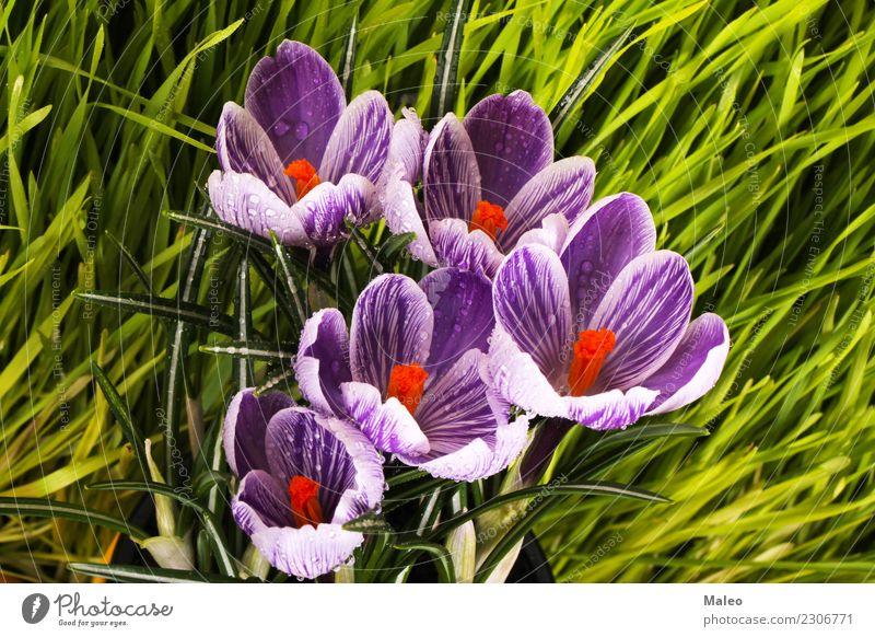 Krokusse erste Gras Sonnenlicht Wiese Park grün Feld Blüte Saison Pflanze violett Garten Außenaufnahme Klivie Botanik Blume Morgen Frühling