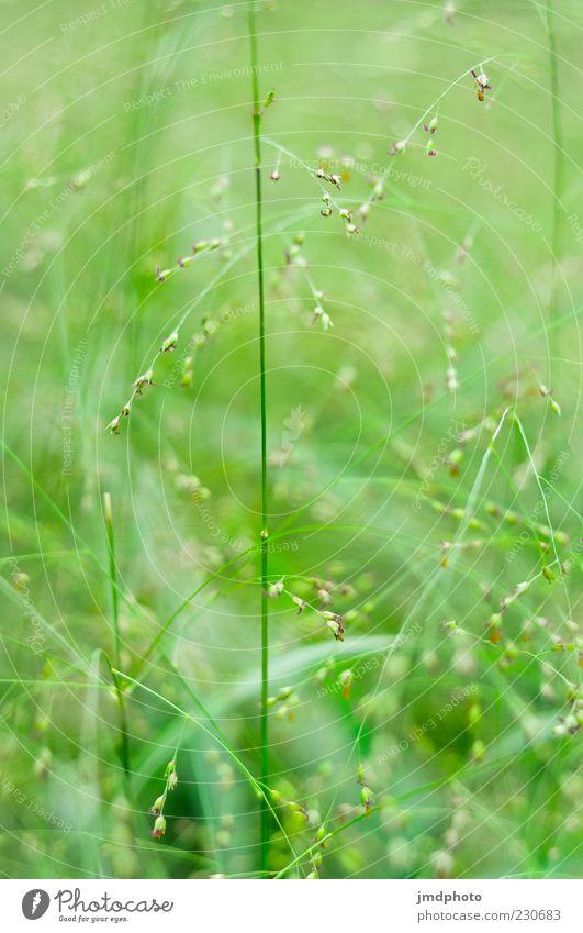 Gräser Umwelt Natur Pflanze Sommer Schönes Wetter Gras Grünpflanze Wildpflanze Wiese Duft Wachstum hell schön natürlich grün Frühlingsgefühle ruhig Farbfoto
