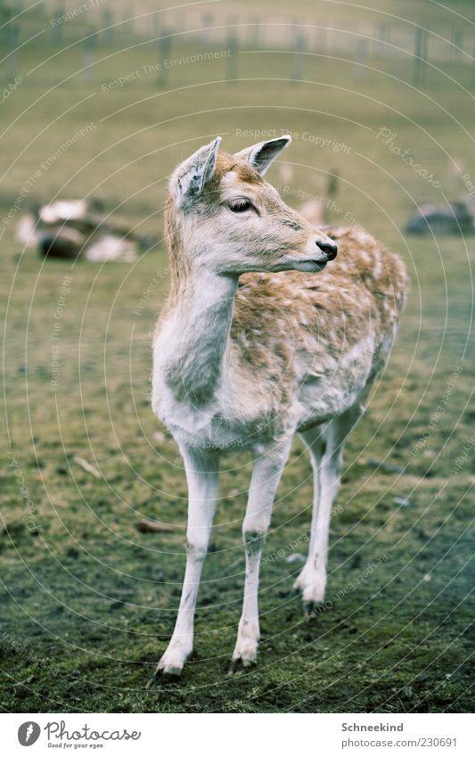 Rehkitz Natur Gras Wiese Tier Wildtier 1 Tierjunges beobachten Fell schön Wachsamkeit Neugier Wildpark Farbfoto Außenaufnahme Menschenleer Tag Licht