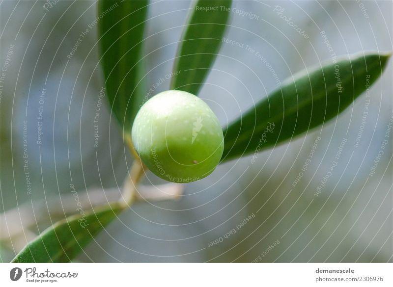 Olive Lebensmittel Gemüse Salat Salatbeilage Frucht Öl Olivenöl Ernährung Vegetarische Ernährung Natur Sommer Pflanze Nutzpflanze exotisch Garten Park kaufen