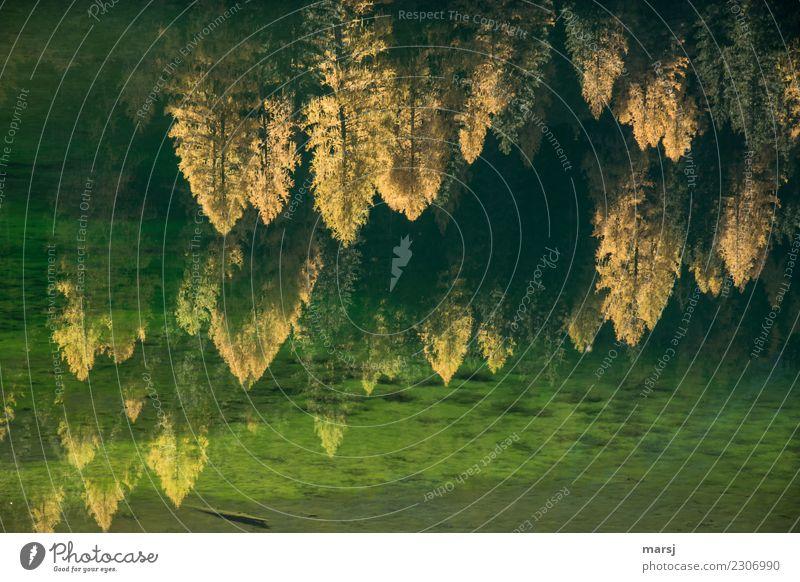 Herbstliche Verwirrung am Duisitzkarsee Natur Schönes Wetter Pflanze Baum Lärche Wald Seeufer leuchten außergewöhnlich dunkel fantastisch gold grün