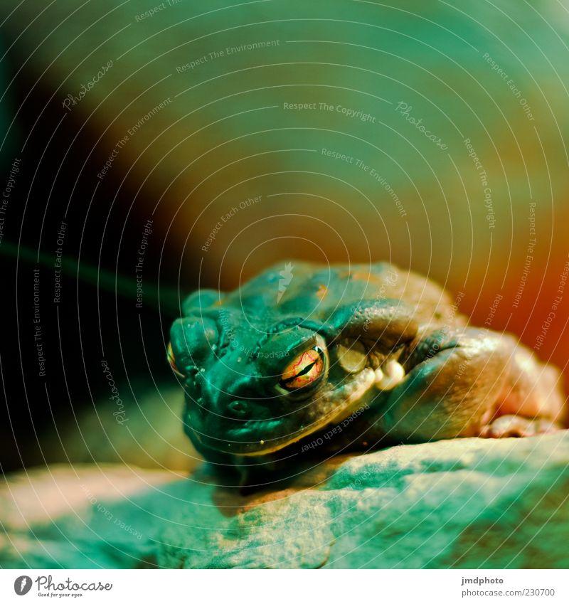 Frosch Natur Tier Tiergesicht Kröte Froschkönig 1 beobachten Blick bedrohlich dunkel Ekel exotisch hässlich kalt nah schleimig wild Zufriedenheit Tierliebe