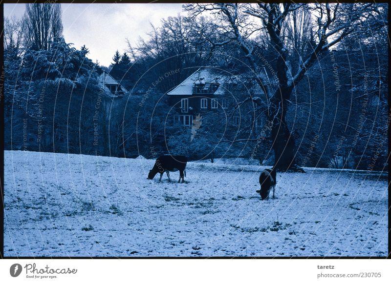 Anwesen Baum Winter Tier kalt Schnee Häusliches Leben Sträucher Weide Kuh frieren Gutshaus Fressen schlechtes Wetter Nutztier Nahrungssuche laublos