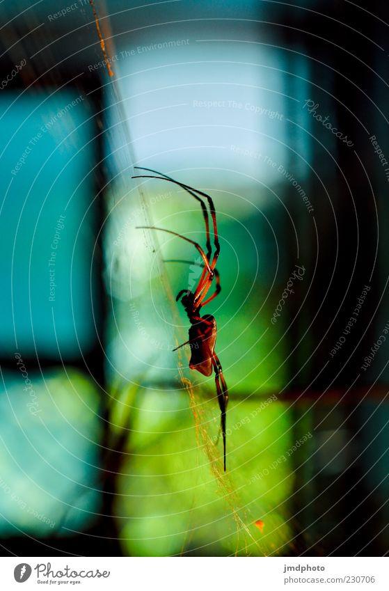 Spinne Natur blau grün rot schwarz dunkel Angst elegant bedrohlich exotisch bauen Ekel Aggression Spinnennetz Strukturen & Formen