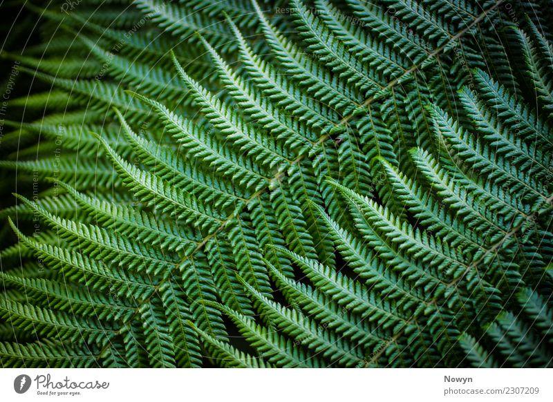 Green Fractal Farn Umwelt Natur Tier Pflanze Blatt Grünpflanze Wildpflanze Ferne frisch Gesundheit Spitze wild weich gelb grün schwarz Glück Zufriedenheit
